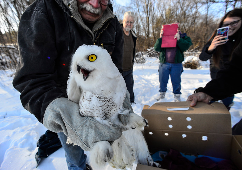 KRISTOPHER RADDER - BRATTLEBORO REFORMER<br /> Fred Homer, of Williamsville, Vt., prepares to release the snowy owl into the wild on Wednesday, Jan. 10, 2018.