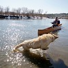 BEN GARVER - THE BERKSHIRE EAGLE<br /> Charlie, a golden retriever owned by Brian Shepardson of Lenox, plays in the Housatonic River as  Ron Estes brings his canoe into the Decker Canoe Launch in Lenox, Thursday, February 23, 2017.