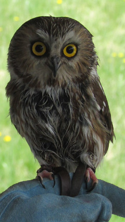 PHOTO PROVIDED A saw whet owl belonging to the Medina Raptor Center will be displayed at the Rocky River Watershed Council volunteer picnic at Mill Stream Park at 1262 Maple St. in Valley City in Liverpool Township on Wednesday.