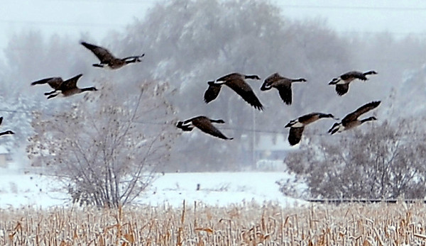 "Geese look for a good spot to land on a corn field south of Longmont.<br /> For more photos of the snow, go to  <a href=""http://www.dailycamera.com"">http://www.dailycamera.com</a>.<br /> Cliff Grassmick / November 2, 2011"