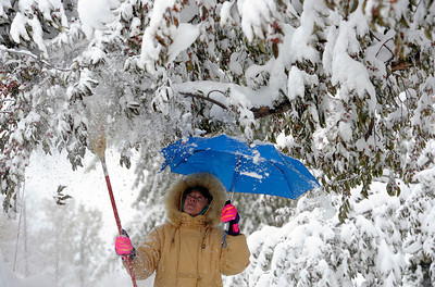 Using an umbrella to keep the snow off her, Jolene Neill knocks the heavy snow from the branches of her front yard tree after last nights snow storm in Louisville, Colorado November 2, 2011.  CAMERA/Mark Leffingwell