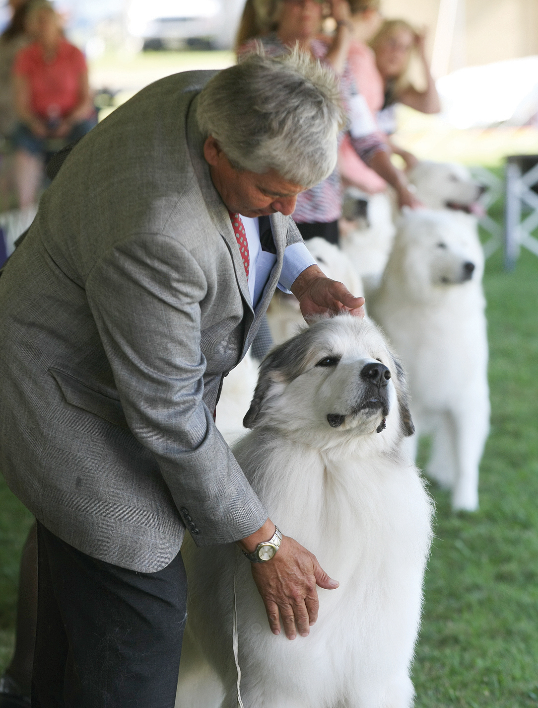 Spencer Tulis / Finger Lakes Times<br /> The Wine Country Circuit Dog Show is one of the largest circuit shows in the country and is back at Sampson State Park (starting yesterday) for four days. Over 3,000 dogs are shown daily, representing over 149 different breeds including the Great Pyrenees pictured. The Wine Country Circuit is hosted by the Elmira Kennel Club, the Onondaga Kennel Association, the Kanadasaga Kennel Club and the Finger Lakes Kennel Club.