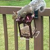 Rachel Peifer took this photo of a visitor on her mom's deck eating bird feed.