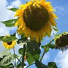 Joanne Wyand, of Hinsdale, sent us this image Tuesday of a sunflower taking its final bow.