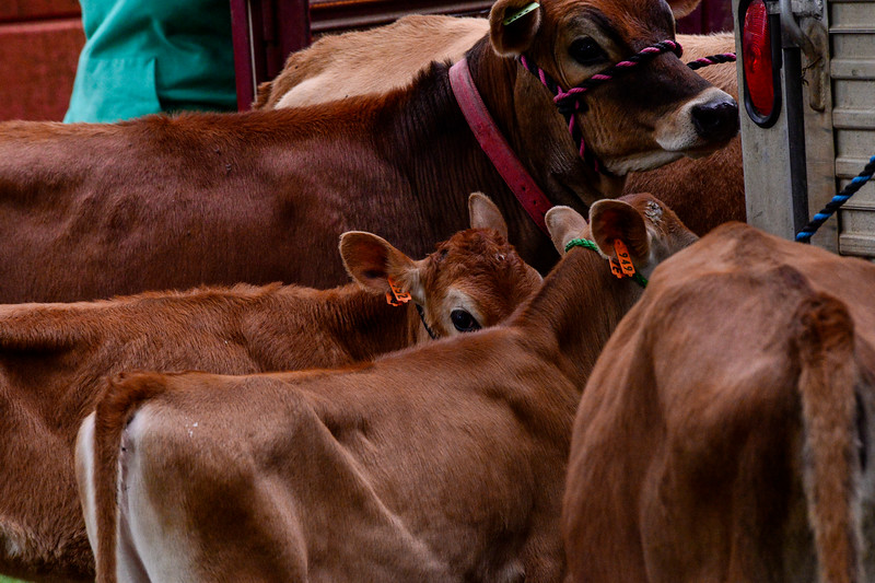 KRISTOPHER RADDER - BRATTLEBORO REFORMER<br /> Heifers rest in the Brattleboro Common after walking down Main Street during the 16th annual Strolling of the Heifers Parade in Brattleboro, Vt., on Saturday, June 3, 2017.