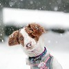 BEN GARVER — THE BERKSHIRE EAGLE<br /> Pittsfield Mayor Linda Tyer brought her Bittany spaniel Kenzie to City Hall and took her out to play in the snow, Wednesday, March 7, 2018.