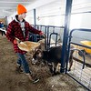 BEN GARVER — THE BERKSHIRE EAGLE<br /> Wyatt Volk feeds young cows in the barn At Hancock Shaker Village, Tuesday, March 13, 2018.