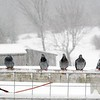 BEN GARVER — THE BERKSHIRE EAGLE<br /> Pigeons sit on a fence as the snow falls at Hancock Shaker Village, Tuesday, March 13, 2018.