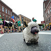 KRISTOPHER RADDER - BRATTLEBORO REFORMER<br /> A sheep from Love Sheep Project watches as the heifers come up Main Street during the annual Strolling of the Heifers Parade on Saturday, June 2, 2018.
