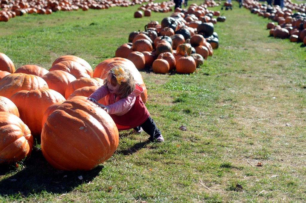 . Lily Genton, 6, of North Adams, tries to push one of the large pumpkins at Whitney\'s Farm in Cheshire.  Sunday October 23 2016 Photo by Caroline Bonnivier Snyder