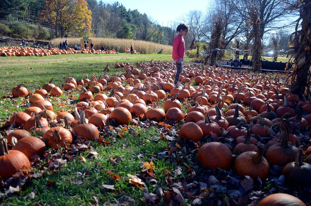 . Lily Bellows, 8, of North Adams, looks over the selection of sugar pumpkins at Whitney\'s Farm in Cheshire on Sunday afternoon.  Sunday, October 23, 2016 Photo by Caroline Bonnivier Snyder