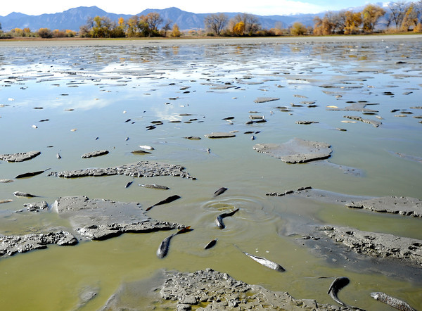 Fish try to stay wet in a tiny pool of water on Tuesday, Oct. 23, at Teller Lake 5 in Boulder.<br />  Jeremy Papasso/ Camera