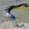 A fish thrashes around in a tiny pool of water on Tuesday, Oct. 23, at Teller Lake 5 in Boulder.<br />  Jeremy Papasso/ Camera