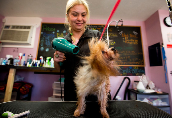 JAY YOUNG | THE GOSHEN NEWS Buffy, an eight-month-old Yorkshire Terrier, shakes while Maria Latisnere  blow dries the dog's hair Wednesday at Happy Tails in Goshen. Latisnere, who owns Buffy, is the owner of the pet grooming salon. Thursday is National Puppy Day.