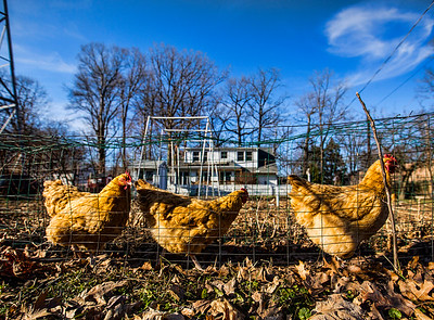 JAY YOUNG | THE GOSHEN NEWS Chickens walk through a chicken-wire tunnel that spans the perimeter of John and Lois Nafziger's garden at their home Wednesday, March 22, 2017. The Nafzigers have raised chickens at his home since 2014, when the city of Goshen passed an ordinance allowing residents to raise chickens within the city limits. The tunnel allows the chickens to act as natural weed-eaters by eating grass and weeds that grow around the garden, preventing the unwanted foliage from growing inside the garden.