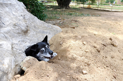 Brewster the dog crawls out from under a hollow tree stump on Friday, Aug. 24, at the Valmont Dog Park in Boulder. For a video about the new park go to www.dailycamera.com Jeremy Papasso/ Camera