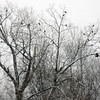Crows try to find shelter in some trees in Williamstown during a snow storm, Tuesday afternoon. December 10th 2013 Holly Pelczynski/Berkshire Eagle Staff