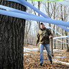 Tyler Hering walks along some of the miles of collection tubes that his family's maple syrup operation near Waterville has installed in area woodlots to collect sap. Photo by John Cross