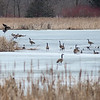 Geese congregate on a patch of ice on a pond near Madison Lake. The ice out this year is already later than normal but is expected to be clear by the fishing opener. Photo by Jackson Forderer
