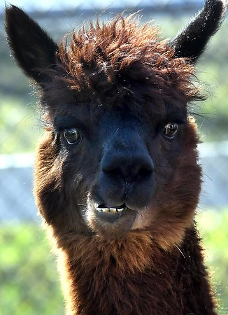 Alpacas return to Sibley Park 2