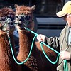 Alpacas return to Sibley Park
