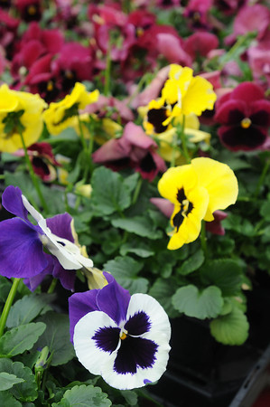 Cold weather has meant that flowers and other plants have been in short supply at area gardening centers so far, this spring. Photo by John Cross