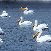 John Cross<br /> Pelicans, part of a flock of 50, loaf on ice-free Hiniker Pond on Friday.
