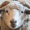 A sheep in a pen at Joe Domeier's farm in rural Nicollet. Domeier said that this Icelandic female breed of sheep can grow horns. In some breeds only the rams can grow horns. Photo by Jackson Forderer