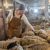 Joe Domeier picks out a sheep to shear at his farm in rural Nicollet. Domeier said he sells the wool by the pound on Etsy. Photo by Jackson Forderer