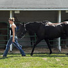 """Pat Christman <br /> Samy Friesen walks her horse """"Seeker"""" back to his enclosure at the Le Sueur County Fair Thursday in Le Center."""