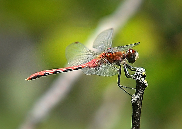 """John Cross<br /> The quarry: A dragonfly, this one known as a """"meadow hawk."""""""