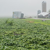 Soybean plants flattened by Wednesday's storms at a farm in New Sweden township. Crop damage occurred in the region after a powerful storm system brought at least five tornadoes on Wednesday afternoon. Photo by Jackson Forderer