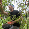 Tony Peregrin picks tomatoes on his plot at the Good Counsel community garden on Tuesday. Photo by Jackson Forderer