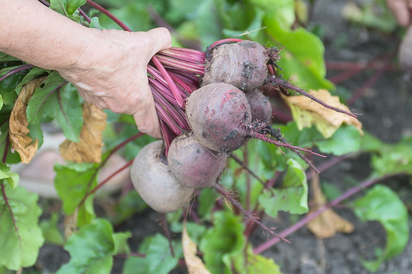 Sister Ann Carol Kaufenberg takes a handful of beets out of her garden at the Good Counsel community garden. Kaufenberg said there are by far more community members than nuns that tend plots at the garden. Photo by Jackson Forderer