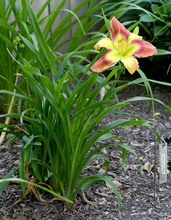 Day Lilies 3