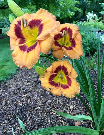 Day lilies 4