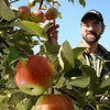 John Cross<br /> Roy Marrs checks out an apple-ladened tree at Welsh Heritage Farms near Lake Crystal.