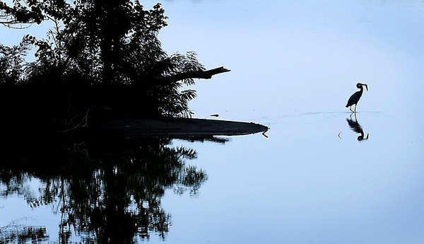 John Cross<br /> A great blue heron creeps along the shore of becalmed Lake Crystal with breakfast in its beak.