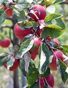 Montgomery apple orchard