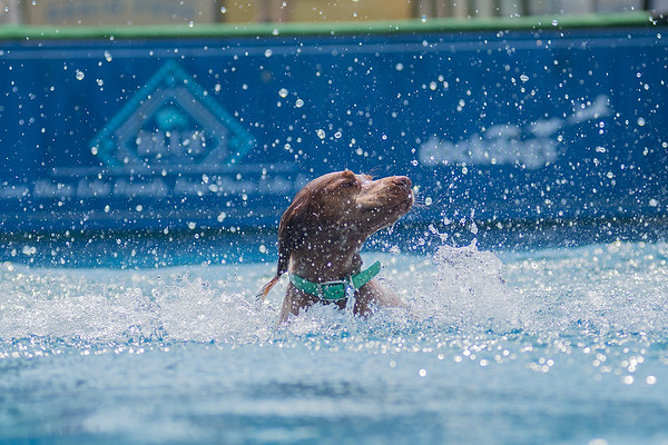 Boone, a Brittany dog, comes up to the surface after making a big splash in the pool during the Dock Dogs speed retrieve competition. Dogs also competed in distance and vertical jumping contests on Saturday at the Brown County Fair in New Ulm. Photo by Jackson Forderer