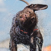 Thunder, a brown lab, shakes the water off of him after getting out of the pool at the Dock Dogs event held at the Brown County Fairgrounds. Photo by Jackson Forderer