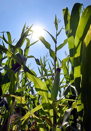 Brown County corn
