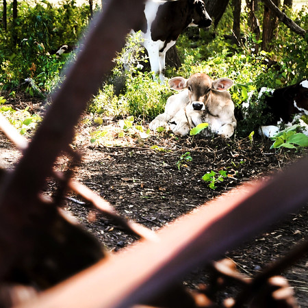 A young cow watches over a Belle Plaine farm.