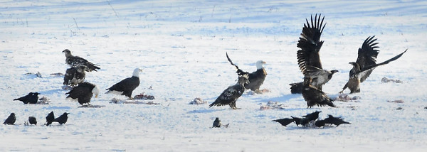 John Cross<br /> There's trouble in the lunch line as a pair of juvenile bald eagles spar over a morsel of deer along the Judson Bottom Road. A dead deer in a field near the Minnesota River has been a lunch stop for scores of eagles and crows in recent days.