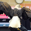 An adult bald eagle shows off its wingspan Friday.