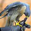 A peregrine falcon devours it's lunch, a one-day-old chicken, during a presentation by the University of Minnesota Raptor Center Friday in St. Peter