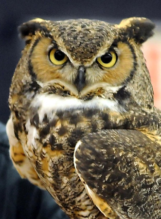 A great horned owl looks around Friday.