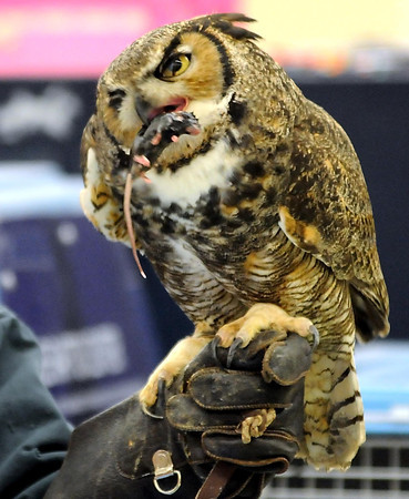 A great horned owl devours a mouse for first-graders at South Elementary in St. Peter Friday.
