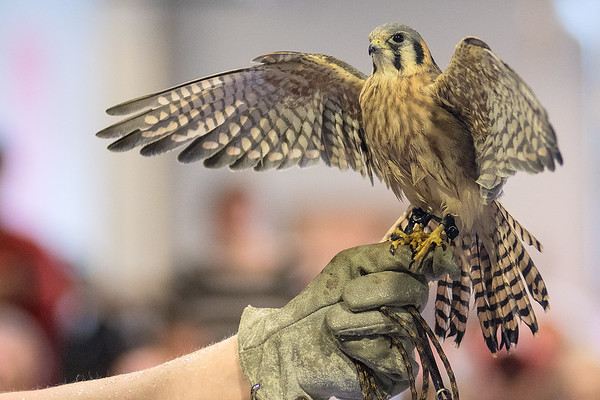 An American Kestrel sits perched atop Ian Dorney of the Raptor Center's hand during a presentation at the Children's Museum of Southern Minnesota. Dorney said the Kestrel came from Brownsdale, Minn. and is blind in one eye. Photo by Jackson Forderer
