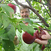 Scott Wardell, owner of Montgomery Orchard, picks a plum from one of his trees. It's been a bumper year for plums at the orchard, one of a handful of orchards that grow the fruit. File photo